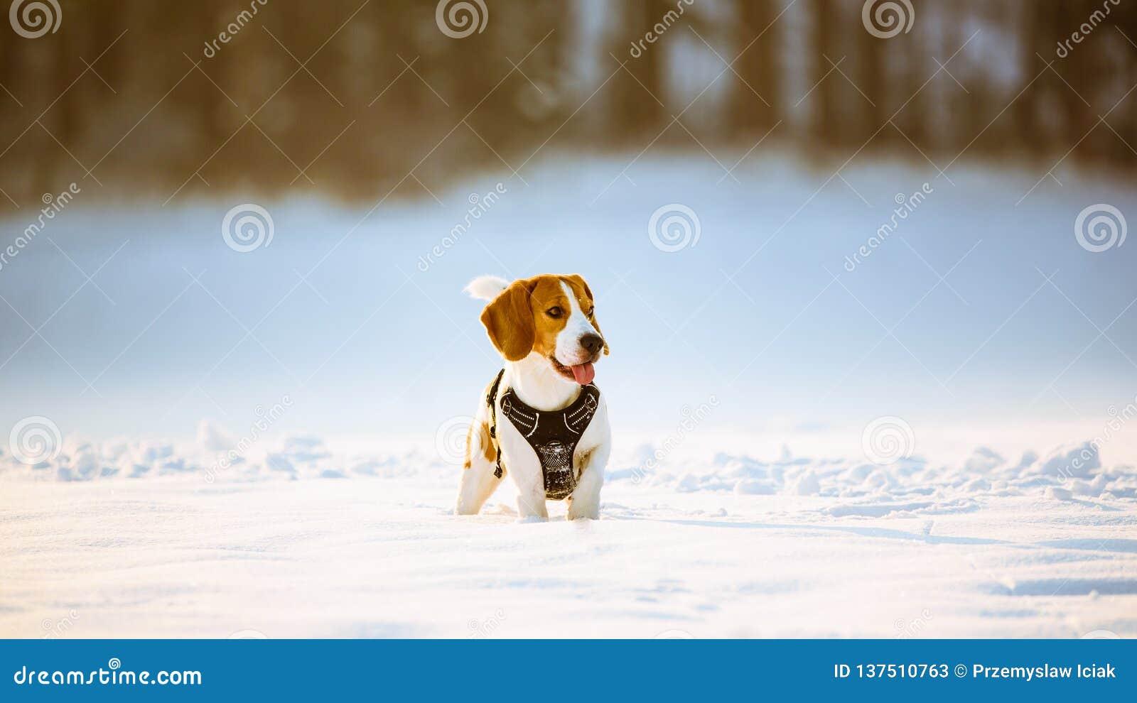 Brakhond met tong uit op het de winter sneeuwgebied op een Zonnige ijzige dag