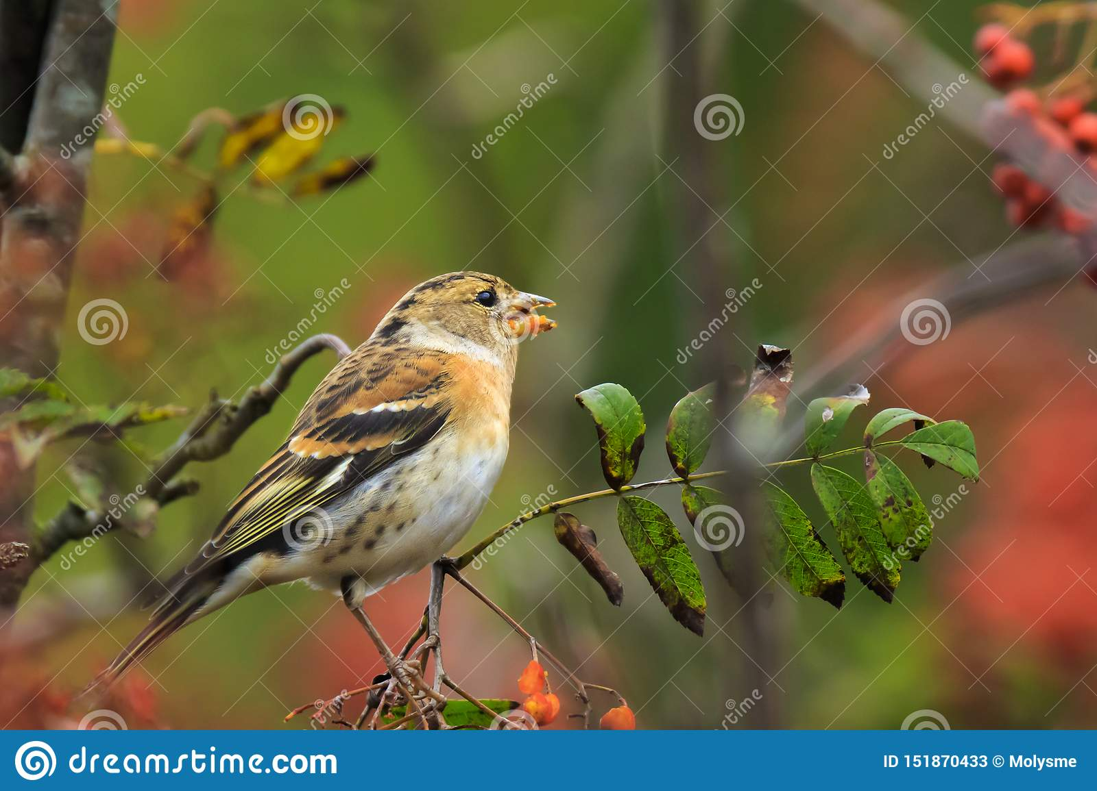 Brambling bird, Fringilla montifringilla, in winter plumage feeding berries