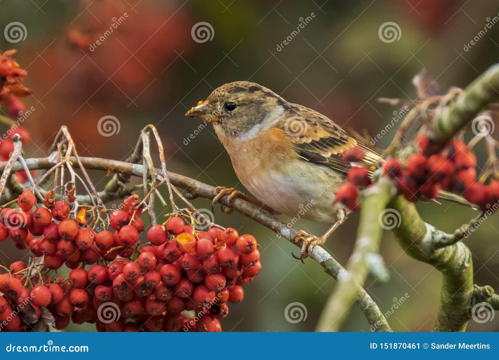 Brambling bird, Fringilla montifringilla, in winter plumage feeding berries