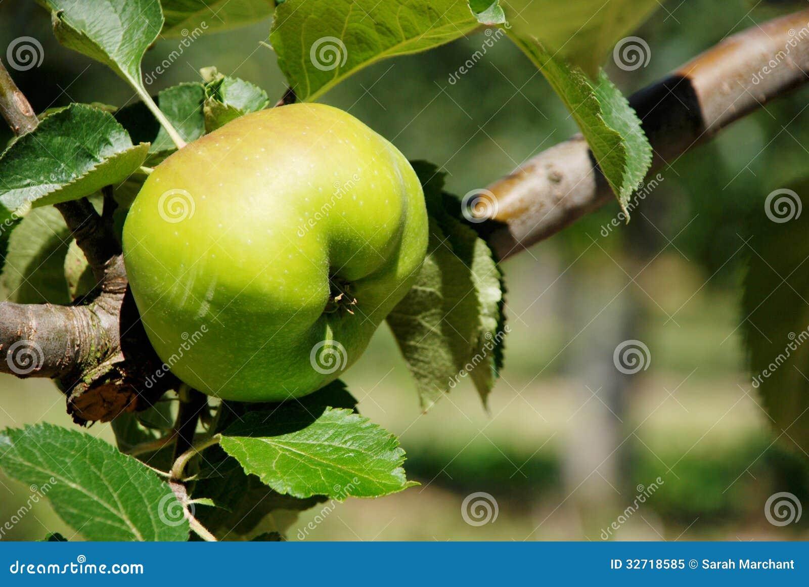 Bramley kokende appel die op de tak rijpen