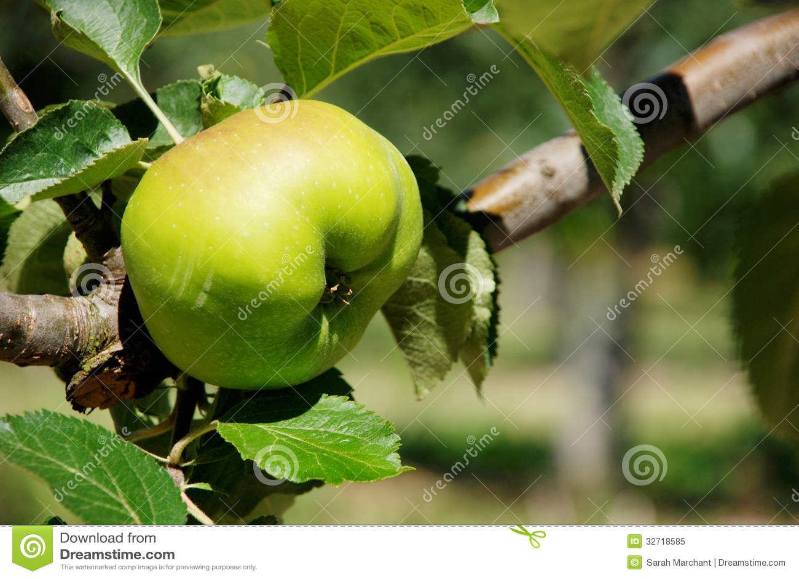Bramley kulinarnego jabłka dojrzenie na gałąź