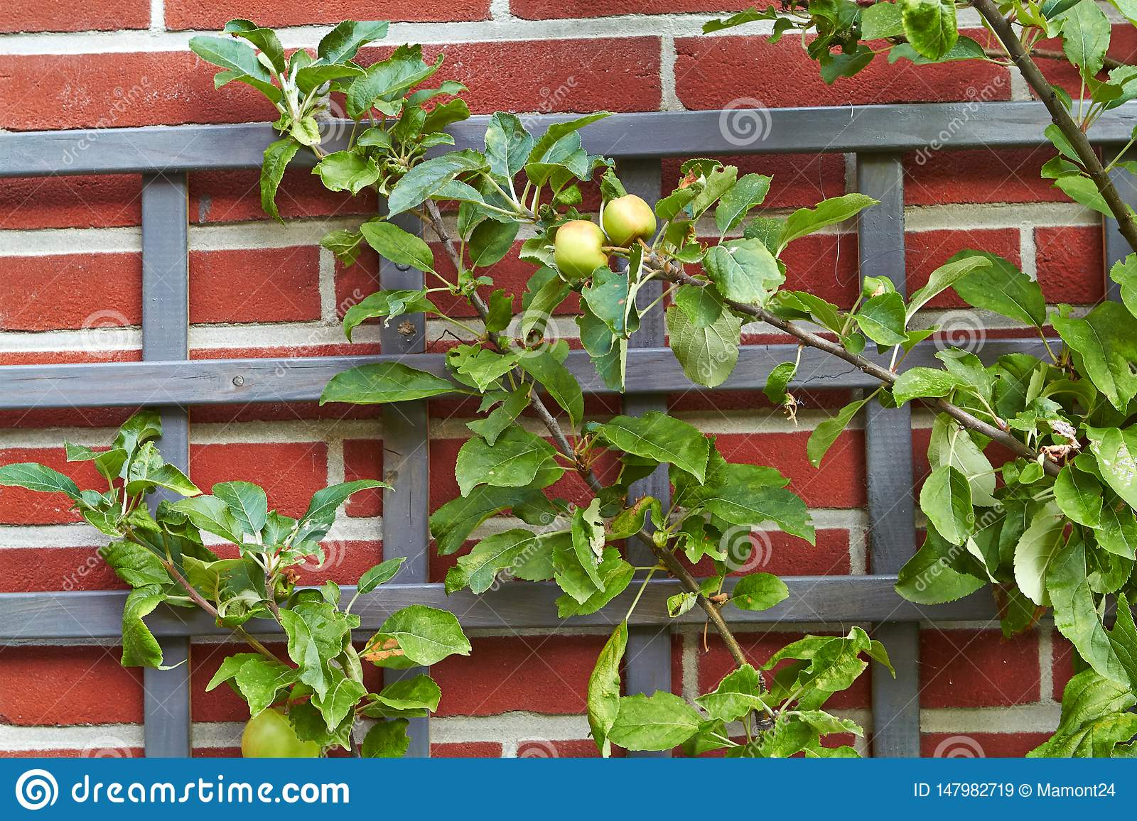 Branch with apples on a brick wall