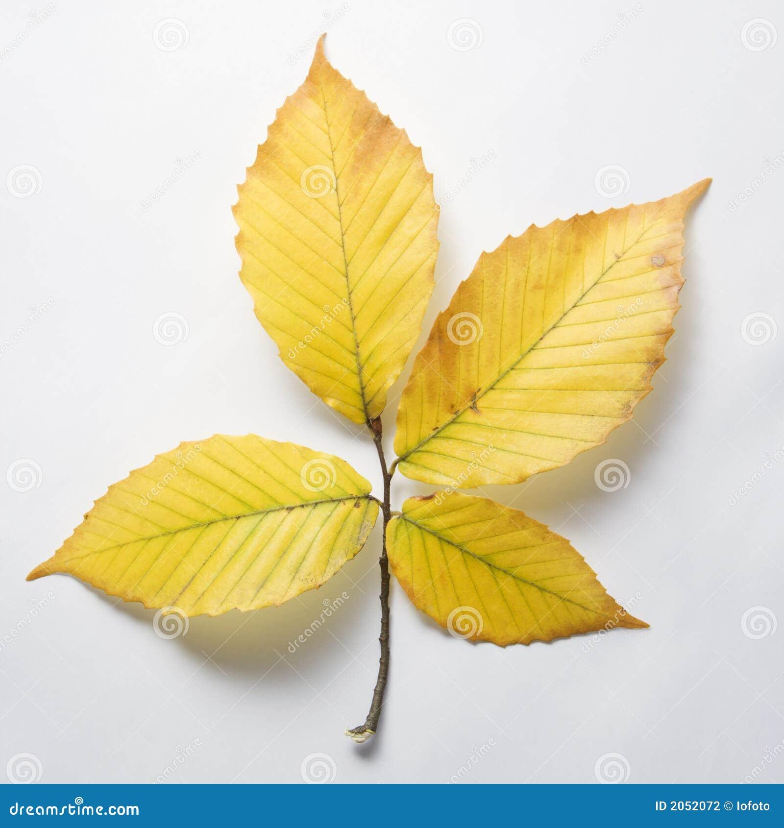 Branch of Beech tree leaves.