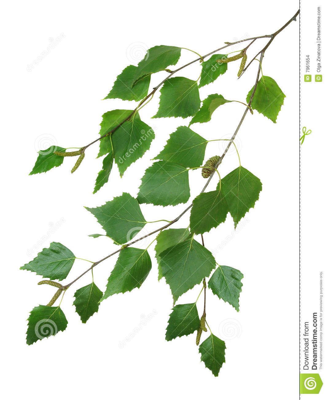 branch of a birch 2 stock images image 7961654