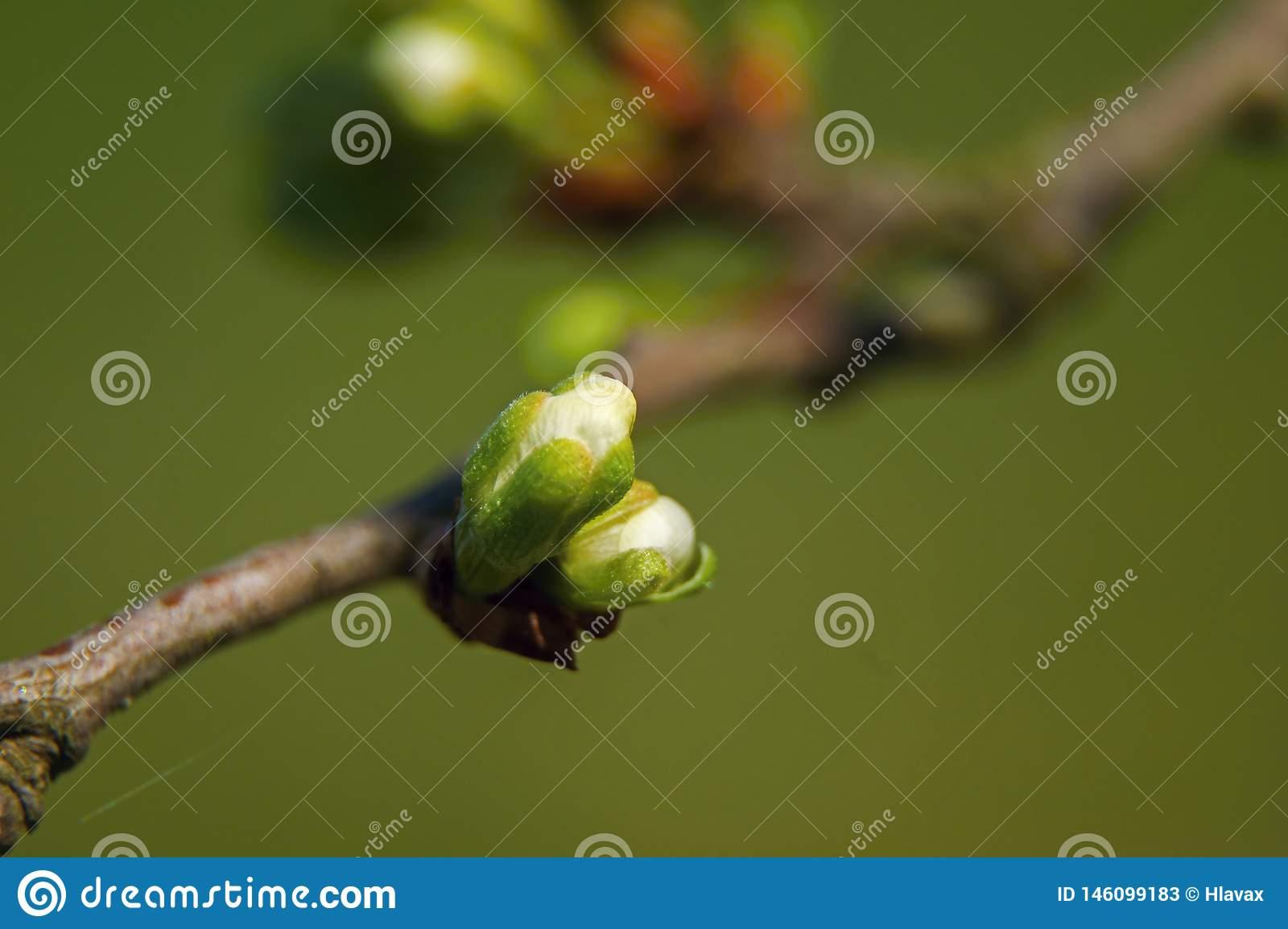 Branch of Blooming cherry on green background