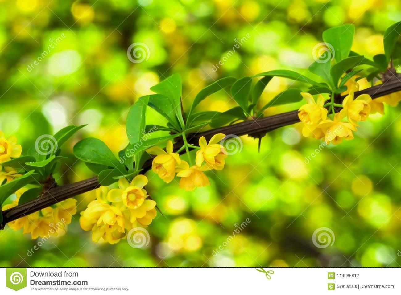 Branch Of Blooming Spring Tree Yellow Flowers Close Up Natural