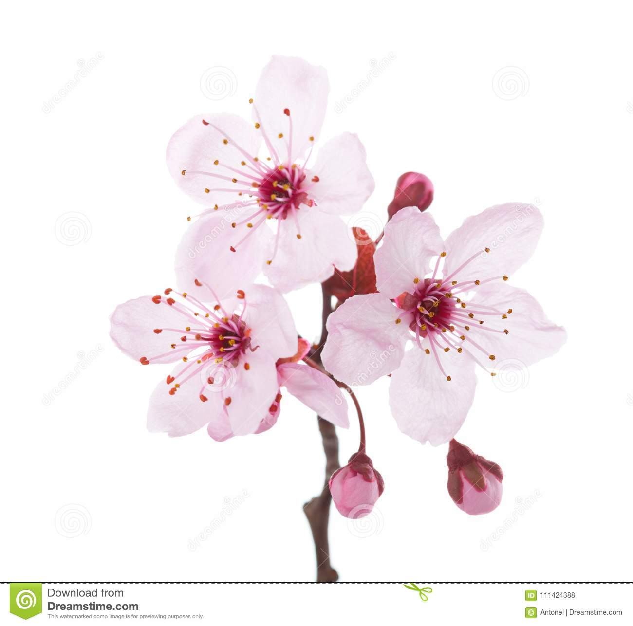 Branch in blossom Plum isolated on white background