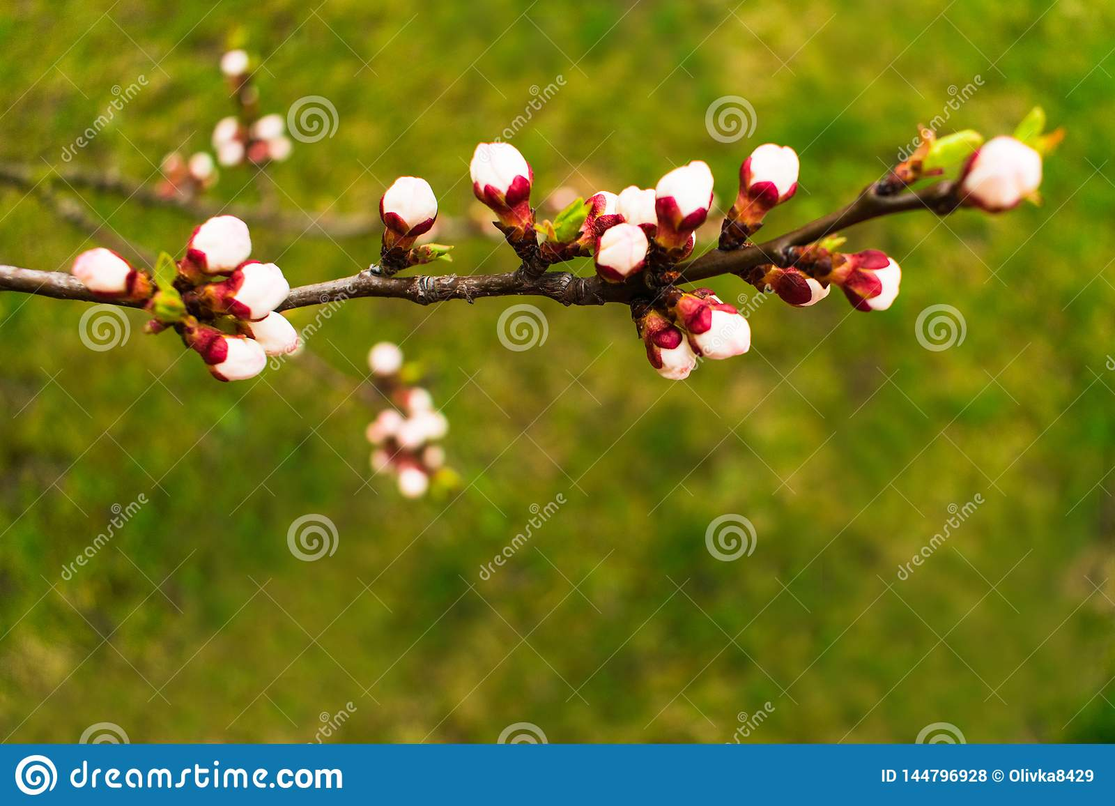 branch of blossoming apricots on grass background