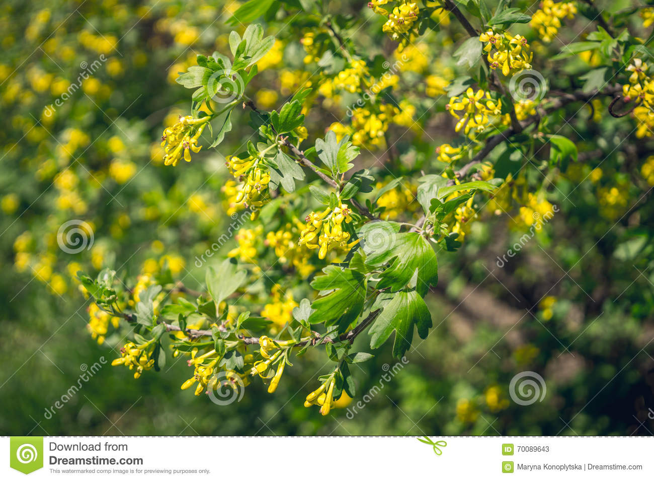Branch Of A Blossoming Golden Currant Stock Image Image Of