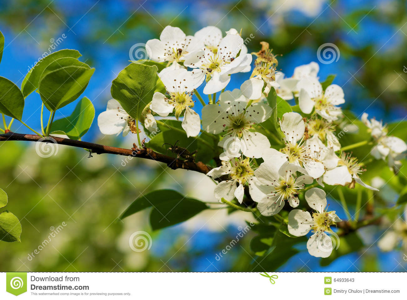Branch Of A Blossoming Pear Tree With Beautiful Flowers Stock Image