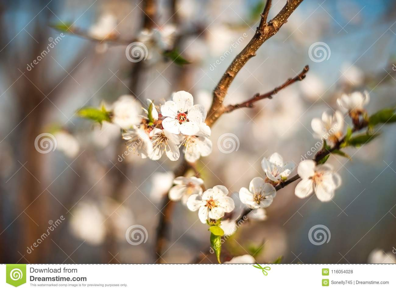 Branch of a blossoming tree in spring. How the fruit tree blossoms, apple, cherry, pear, plum. Close-up, texture of natural bark a
