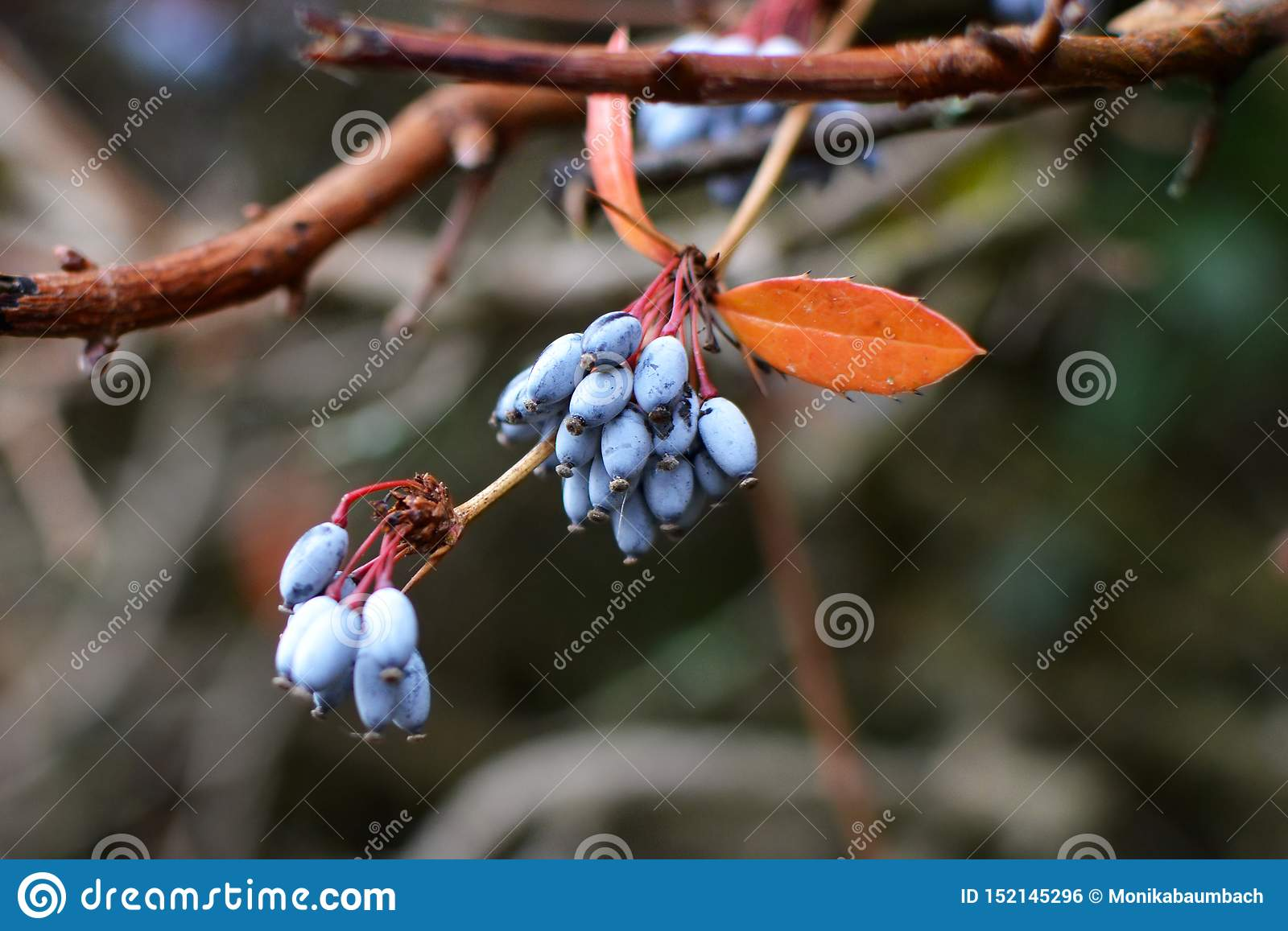 Branch of blue common or European barberry Berberis vulgaris with orange colored leaf in autumn