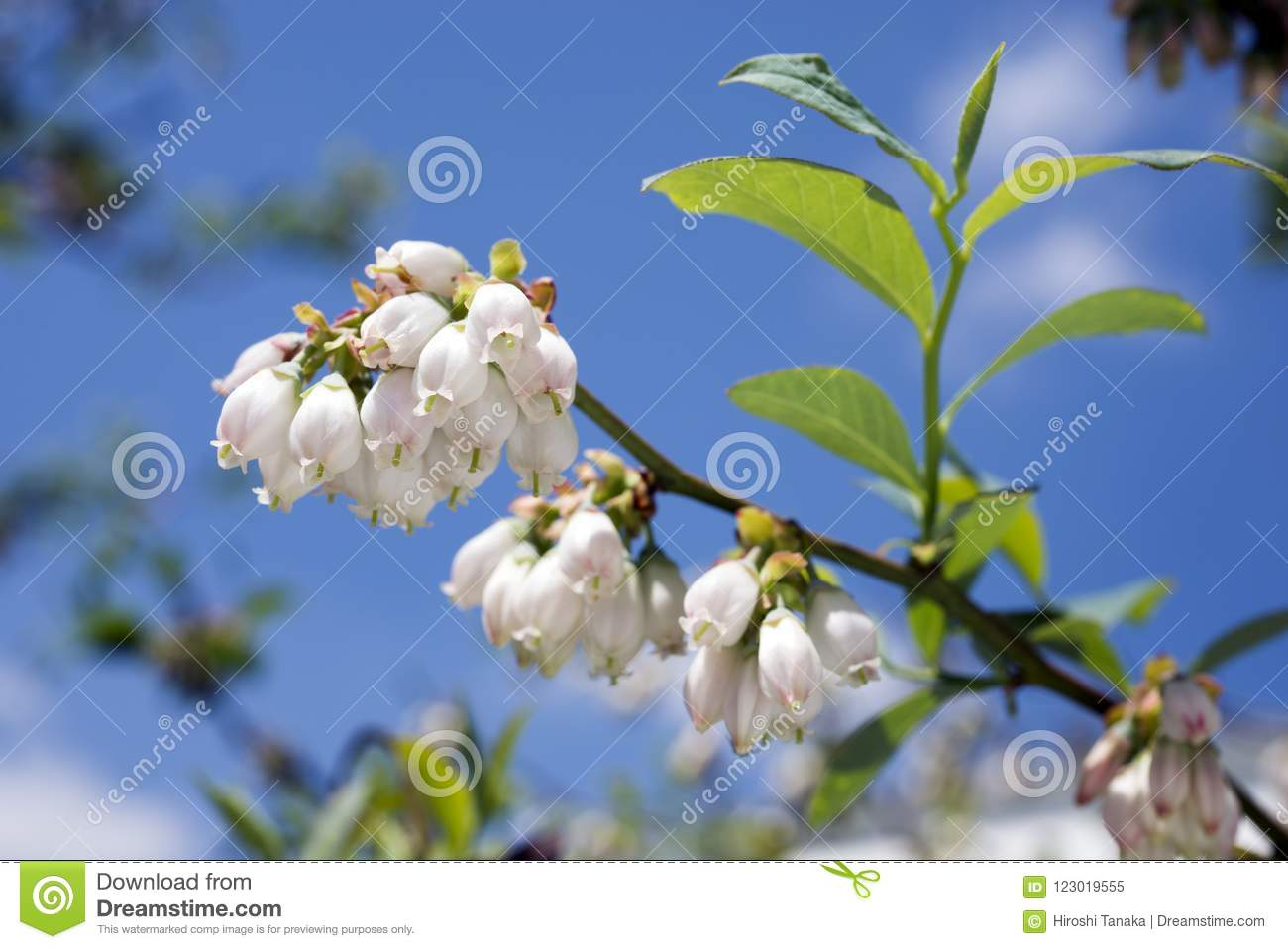 Branch Of Blueberry Flowers Stock Image Image Of Bloom Berry 123019555