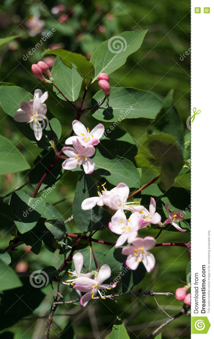 The Branch Of A Bush With Small Pink Flowers Stock Photo Image Of