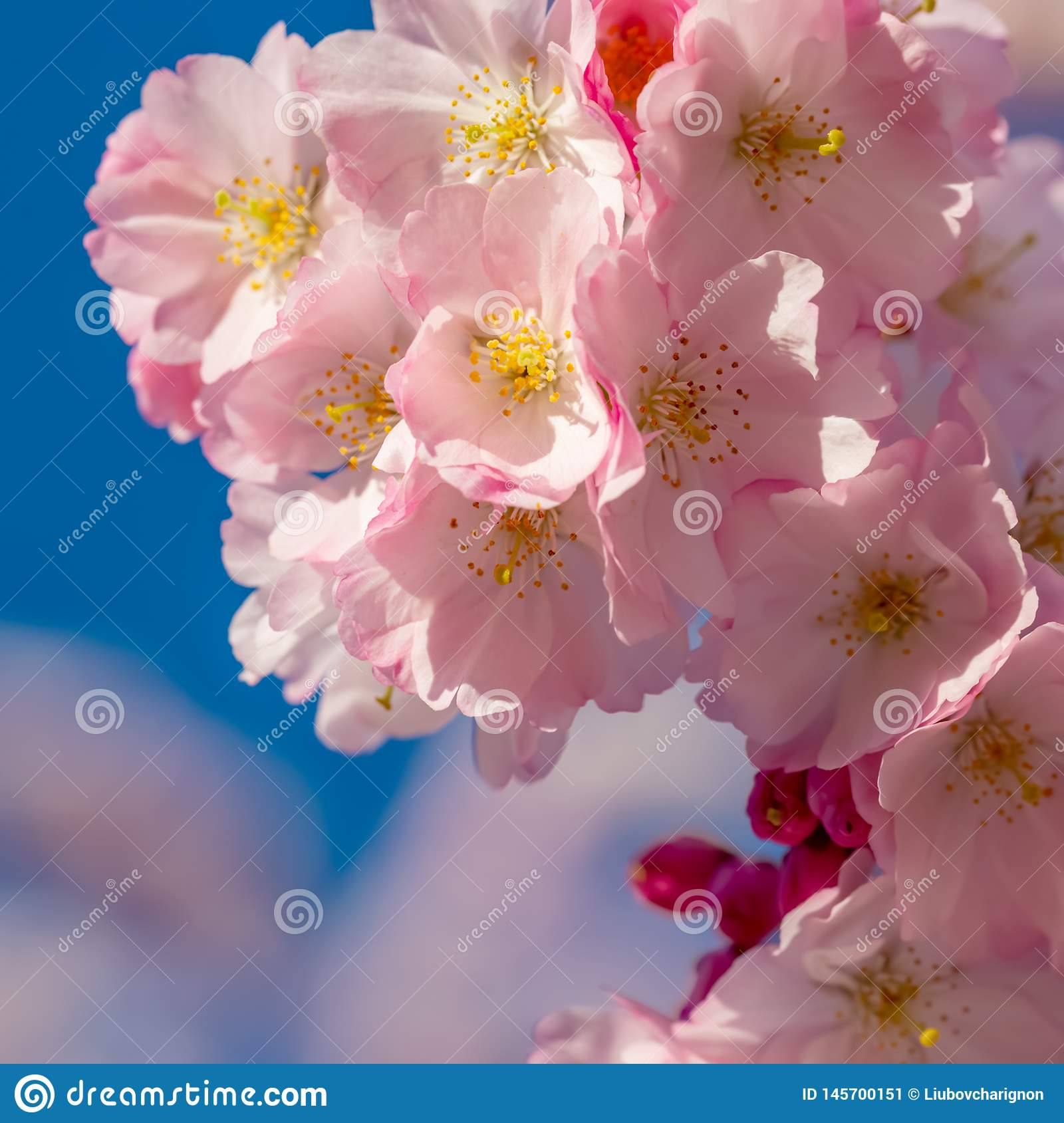 A branch of cherry blossoms. Blooming cherry