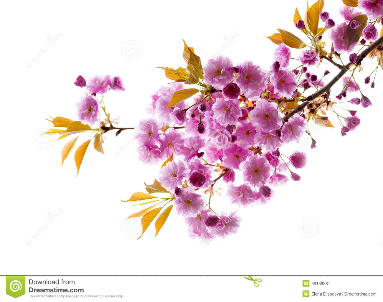 Branch with cherry blossoms stock image image of blossom floral branch with cherry blossoms stock image image of blossom floral 36169881 mightylinksfo