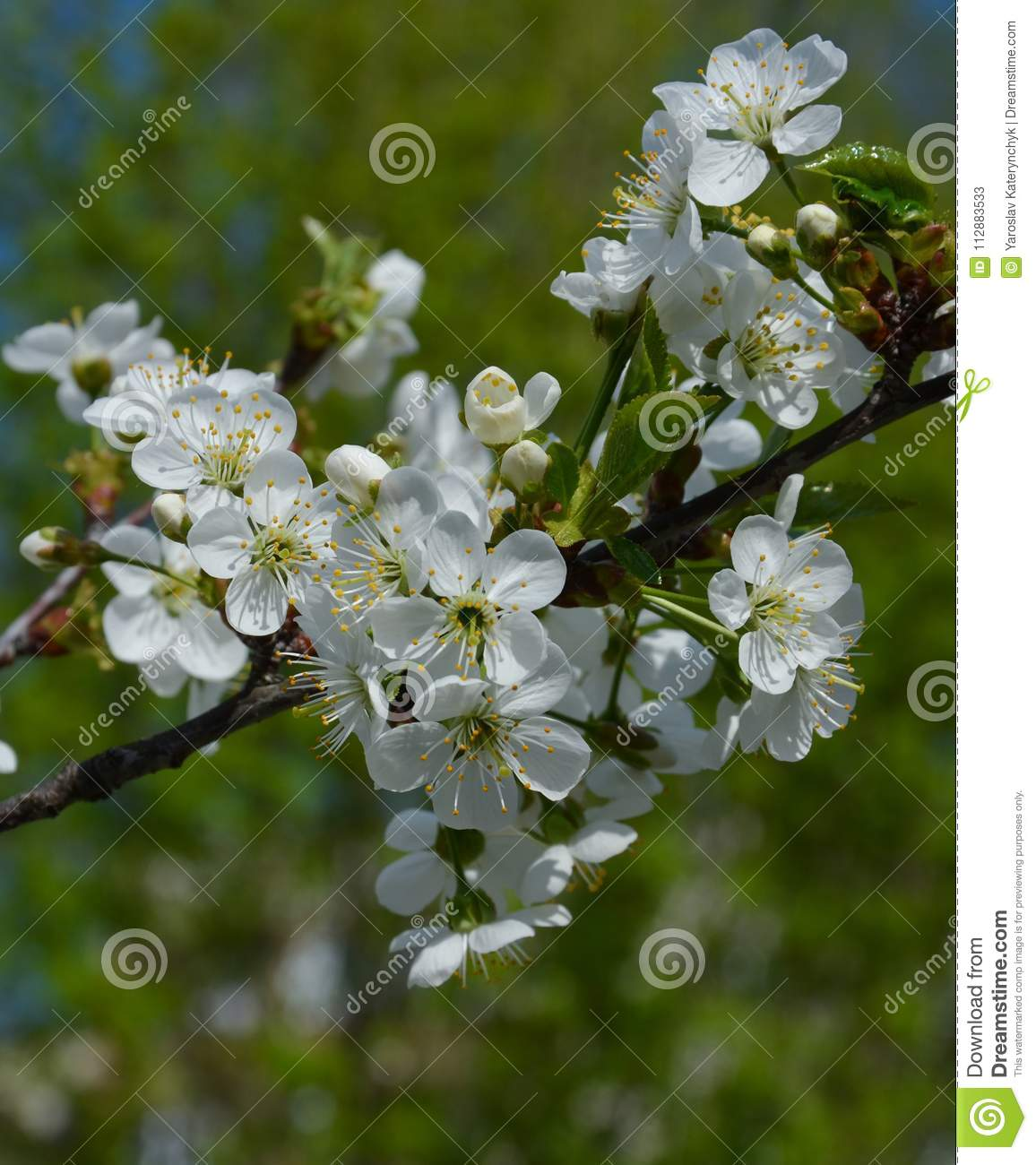 The Cherry Tree Blooms With White Flowers Stock Image Image Of