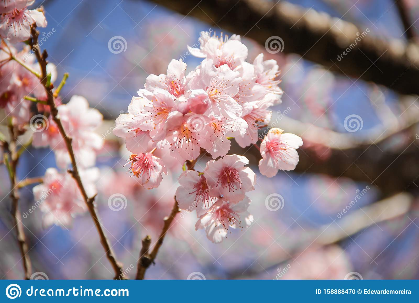 A branch of Cherry tree