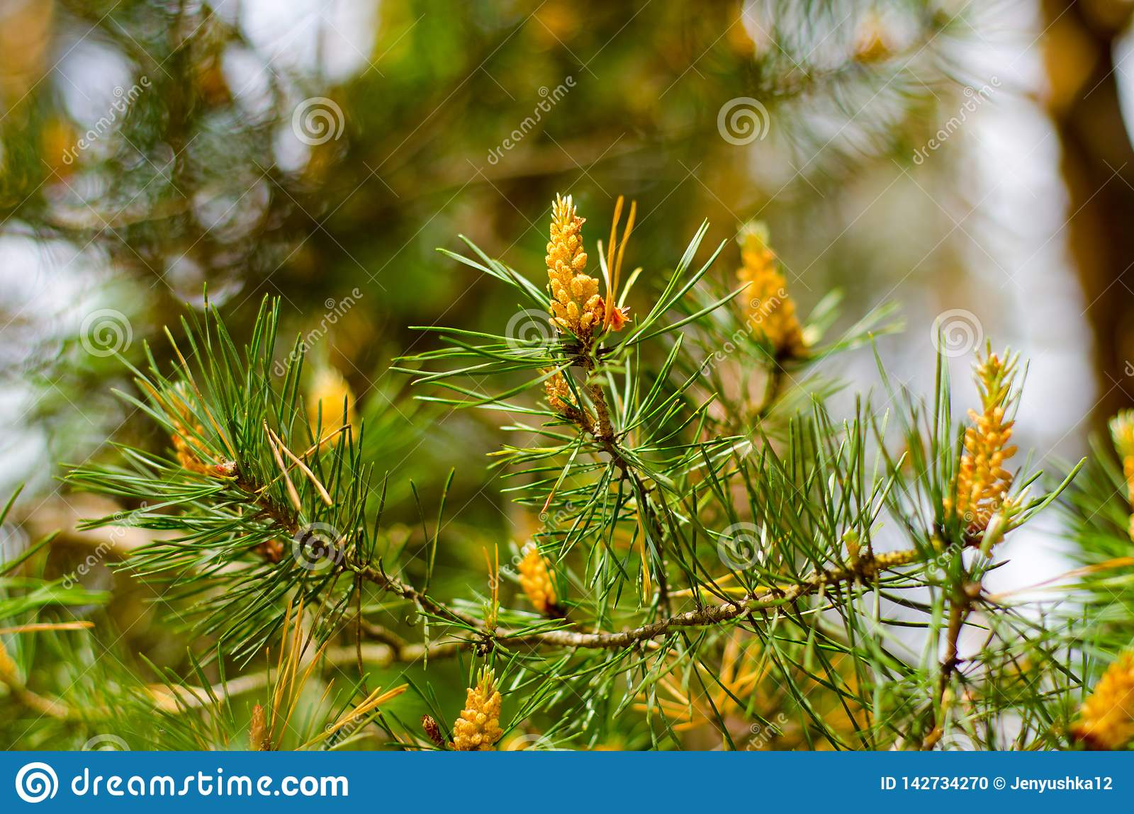 Pine branch with young cones