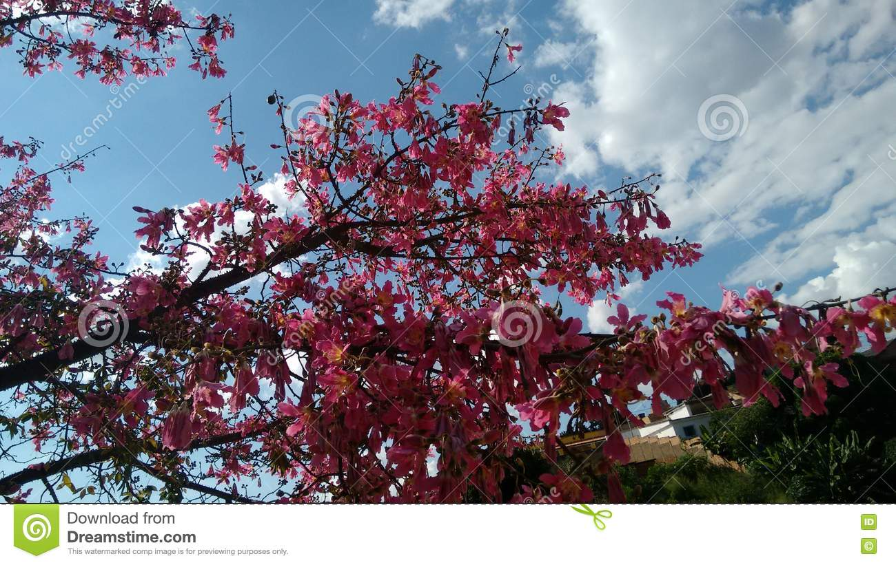 Branch Of The Kapok Tree In Bloom Stock Image - Image of