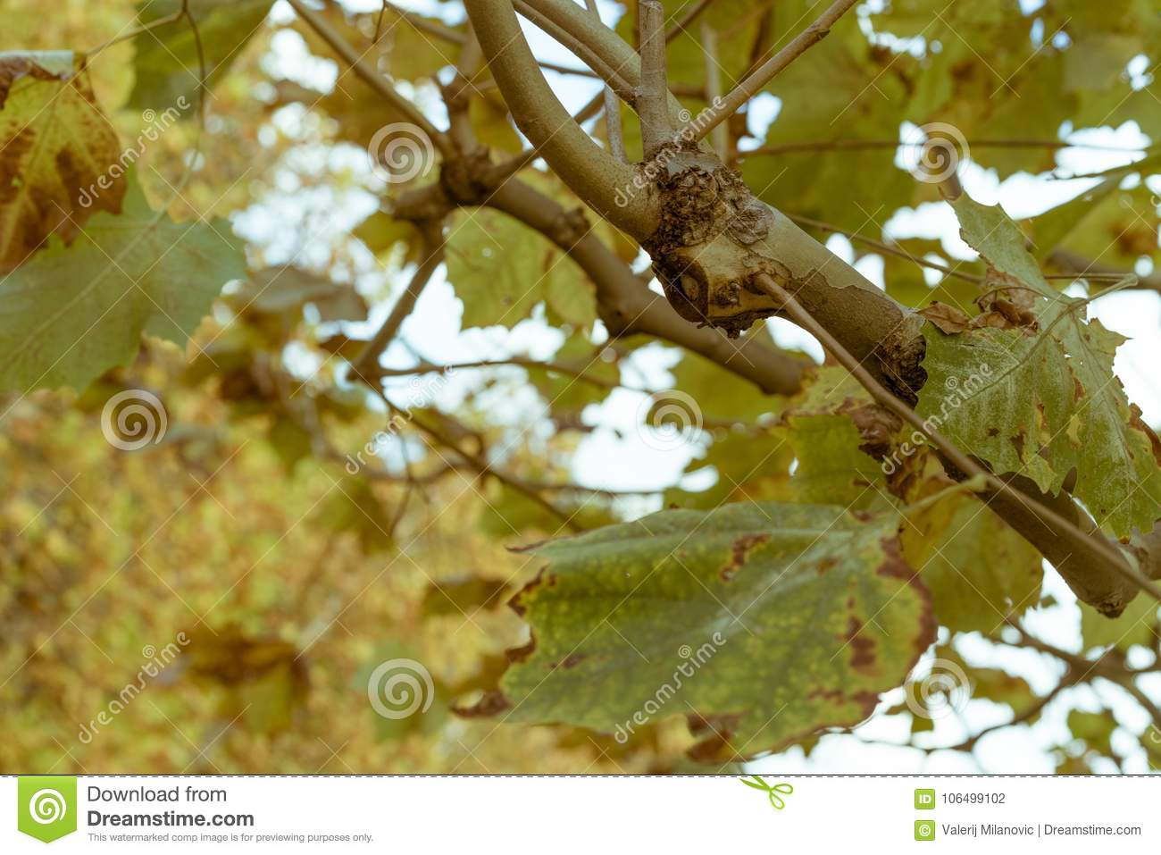A branch of deciduous tree during autumn in a park
