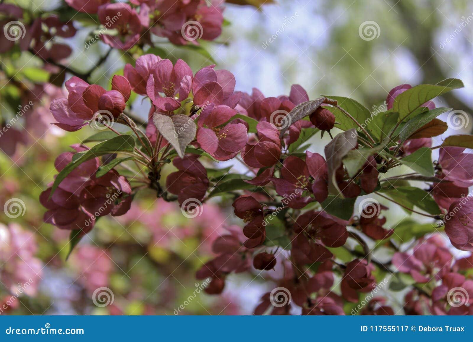Dark pink crabapple blooming in the spring stock image image of dark pink crabapple blooming in the spring mightylinksfo