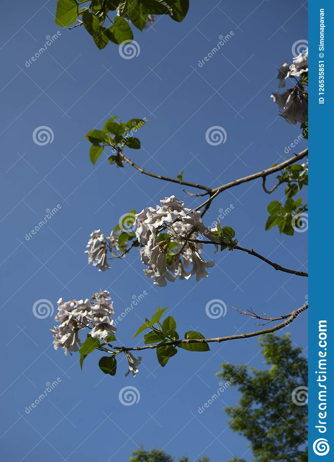 Branch with flowers of Paulownia tomentosa tree