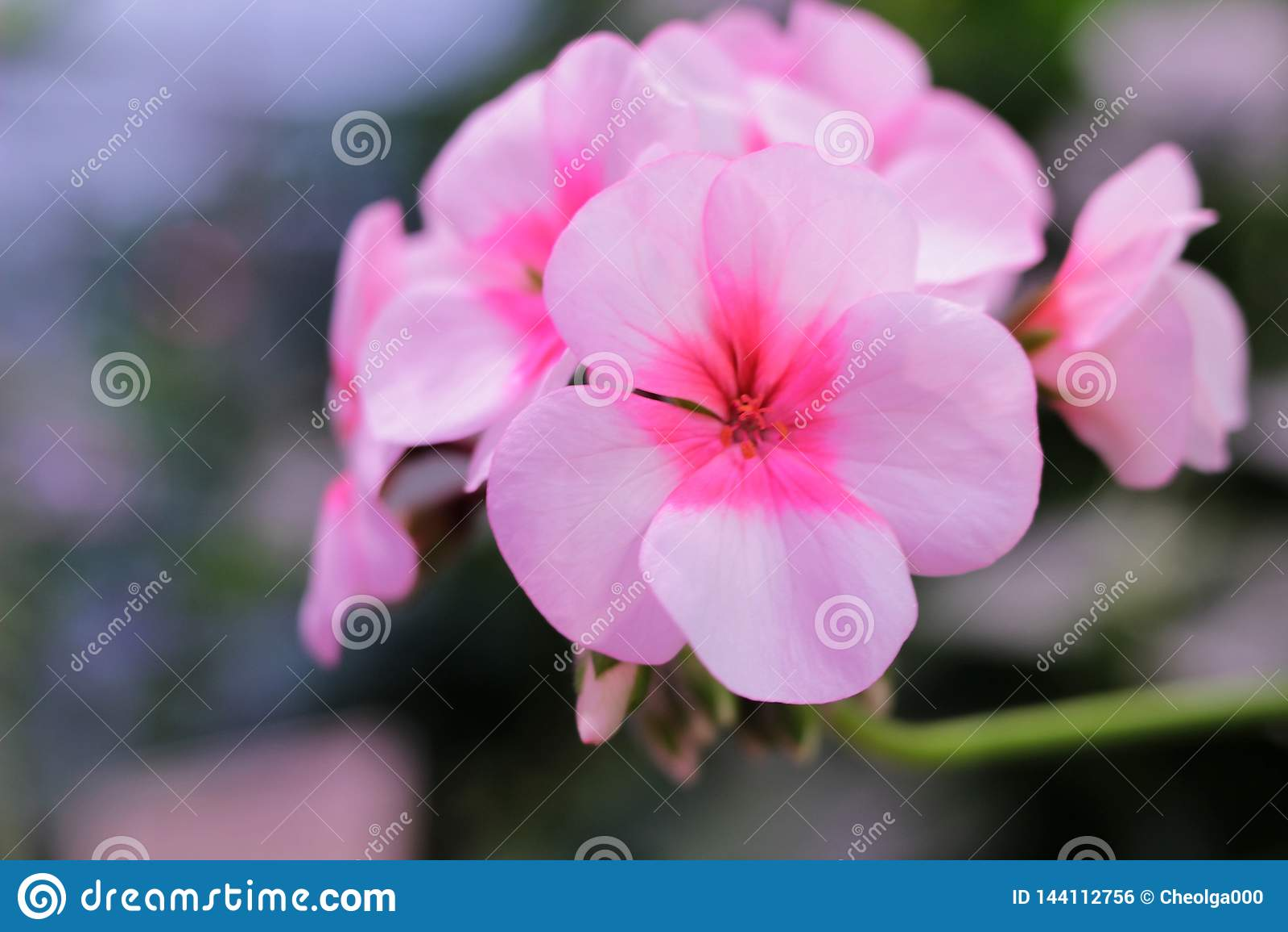 Branch with flowers pink geranium, pelargonium x hortorum L.H. Bale Geraniaceae, flowers postcard, copy space