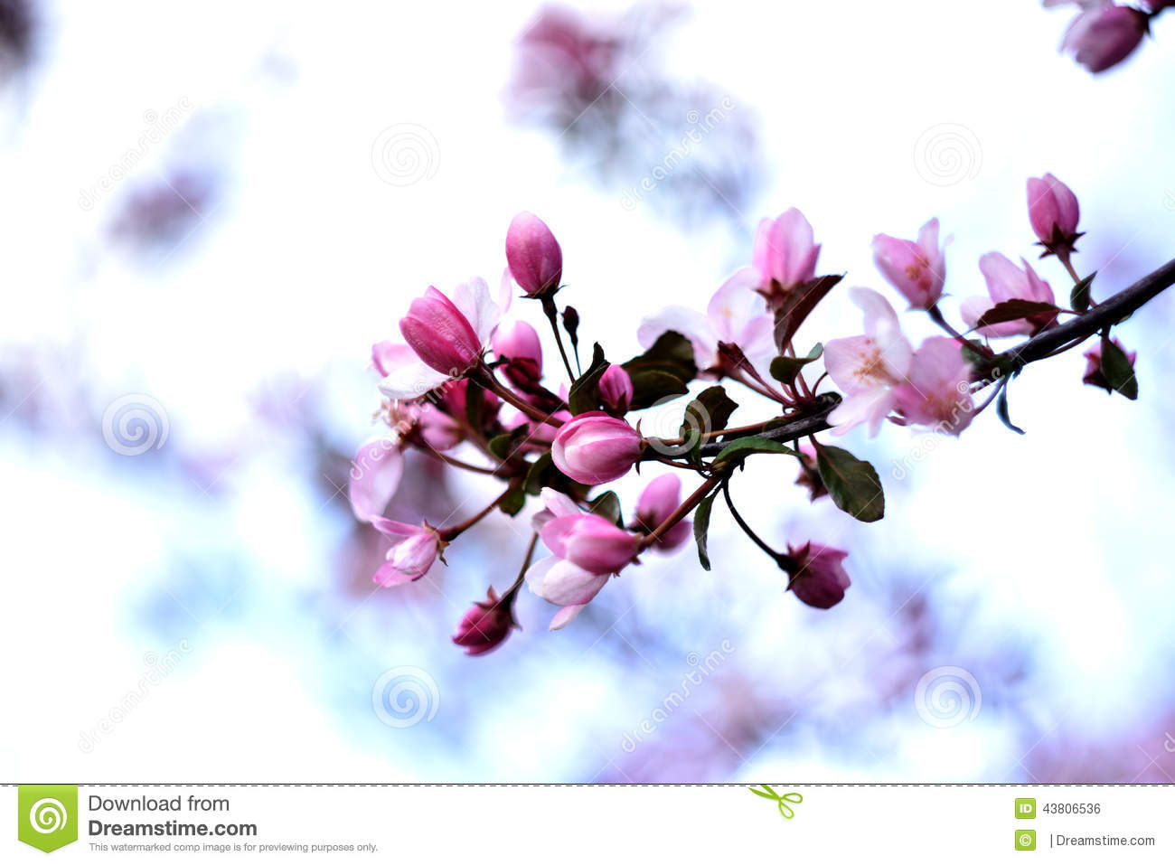 Branch Of Fragrant Spring Flowers Stock Photo Image Of Tulips