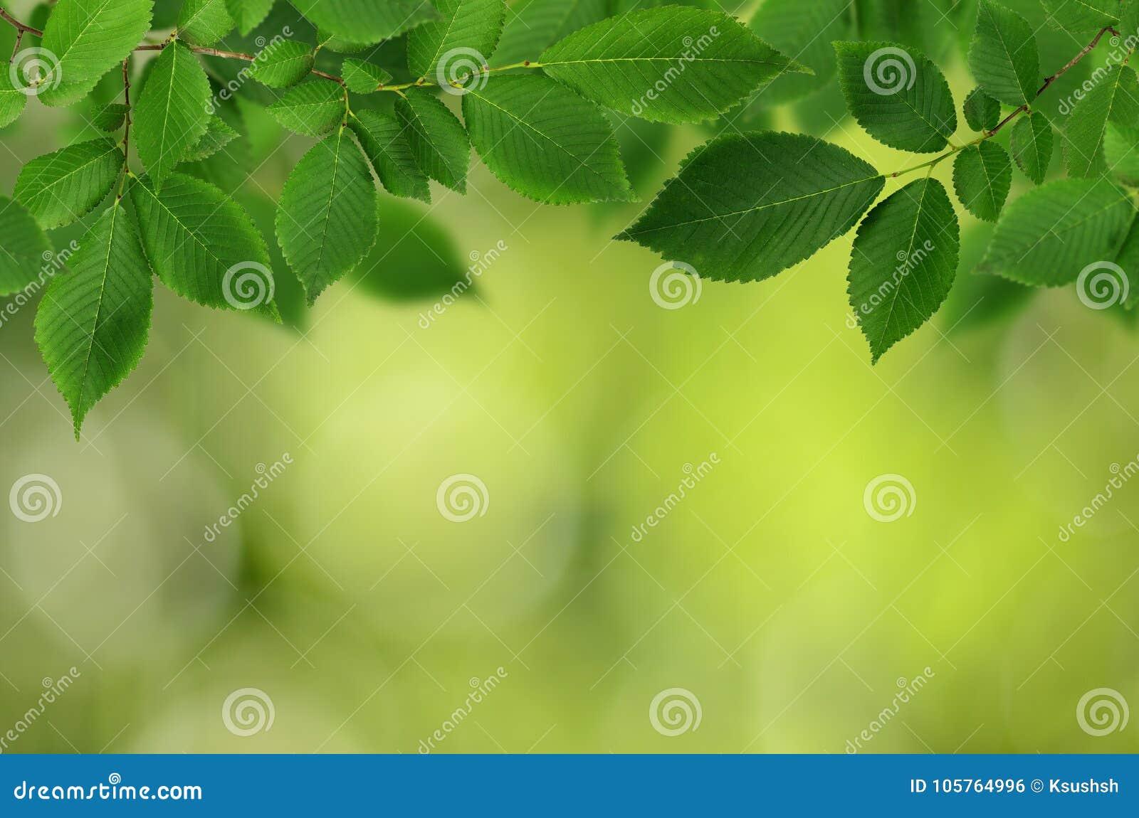 Branch of fresh green elm-tree leaves for background