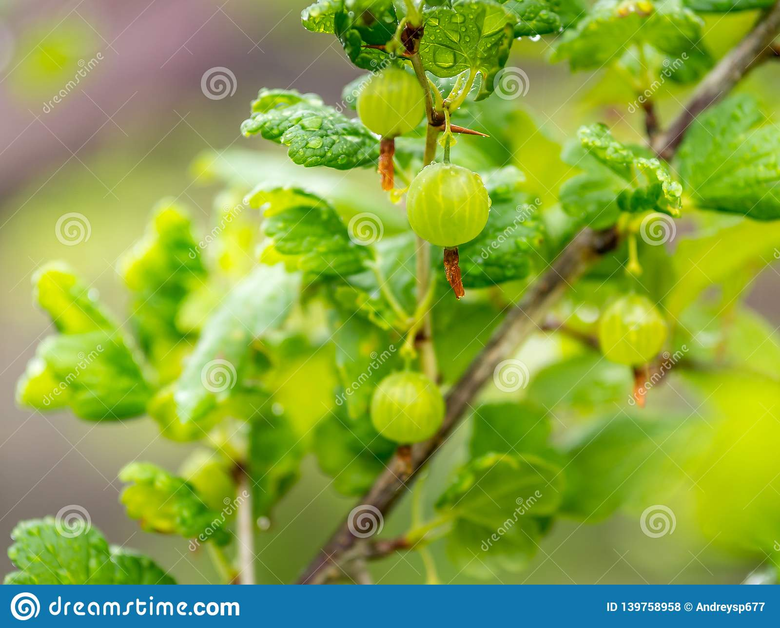 Branch of gooseberries in the garden with drops of water from the rain royalty free stock photos