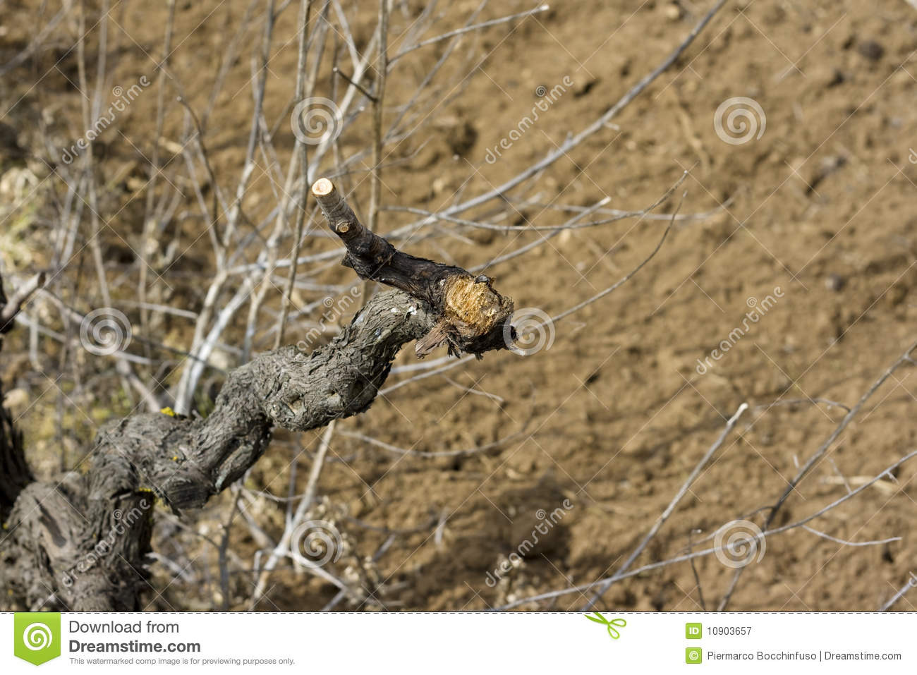 Branch of grapes 2