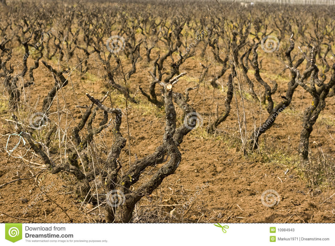 Branch of grapes 3
