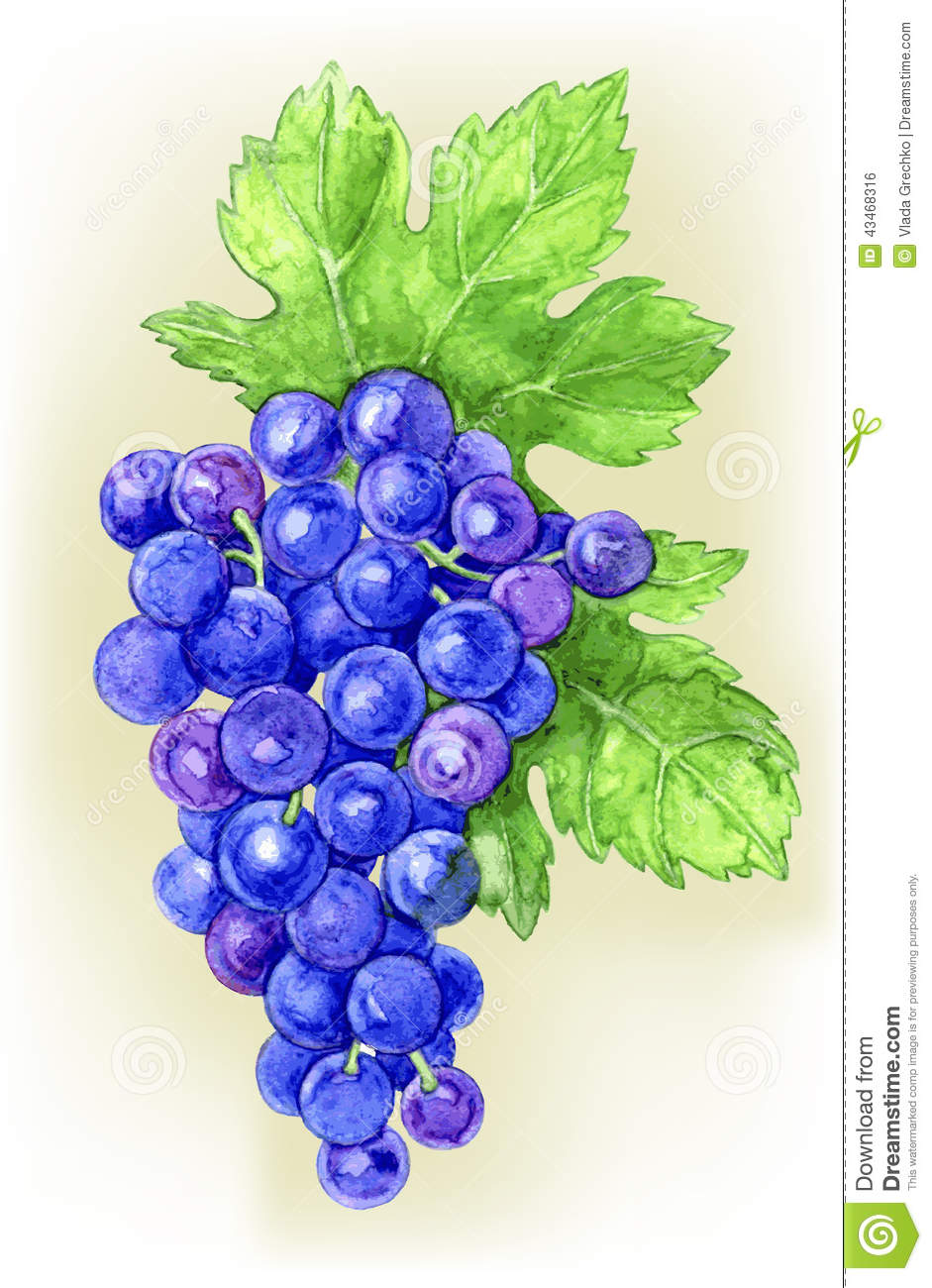 Branch Draw Grapes Illustration