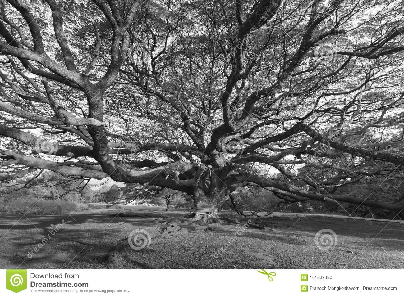 Branch of great giant big tree