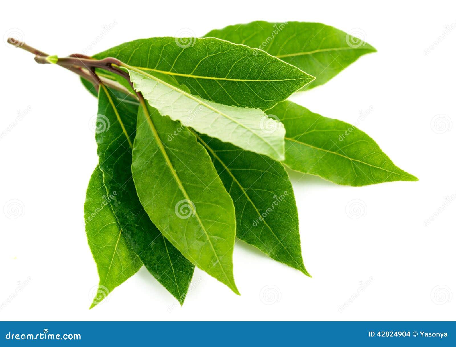 Branch green laurel leaf