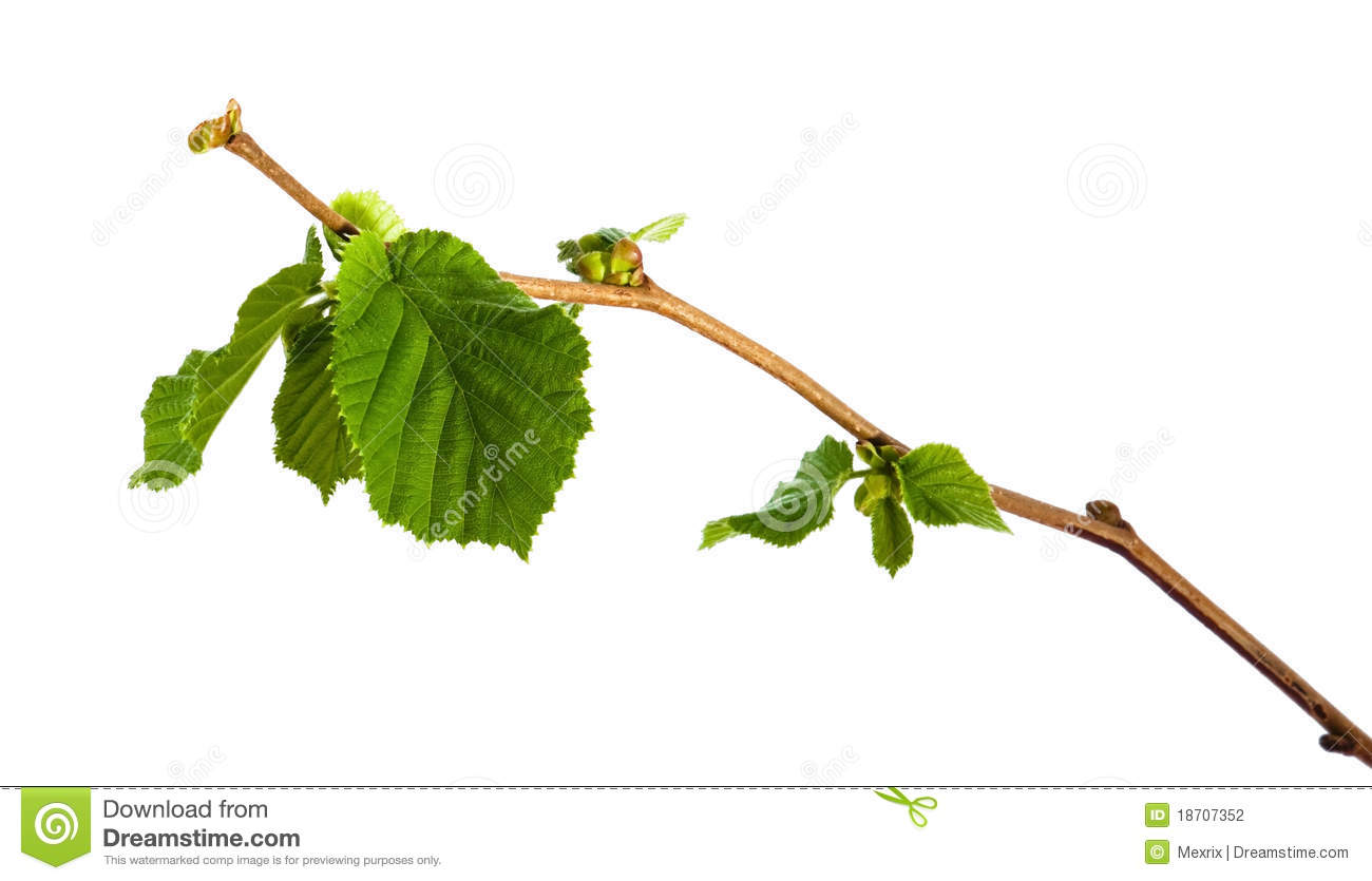 New background images environment free wallpaper - Branch Of Hazel Stock Photography Image 18707352