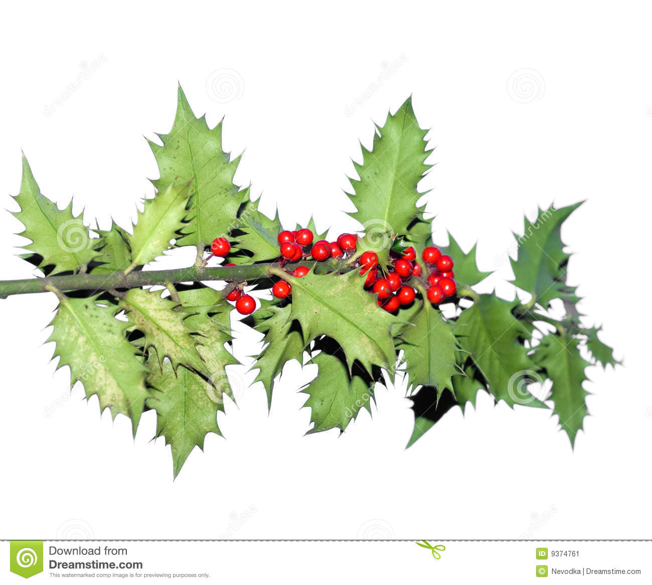 branch of holly tree stock image image 9374761 Antique Oak Tree PNG Art Pine Tree Branch Drawing