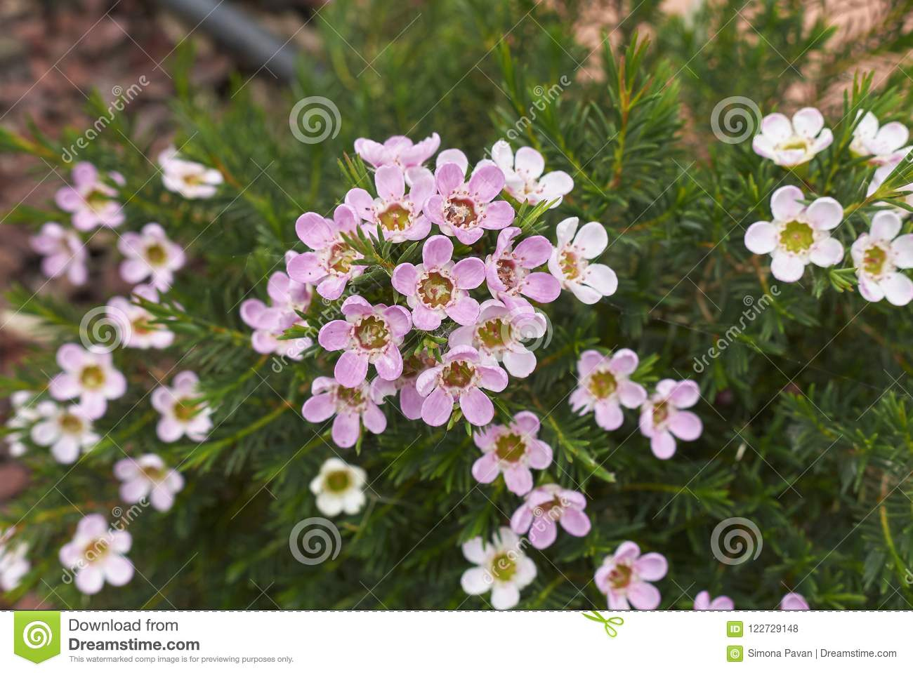Pink And White Flowers Of Chamelaucium Uncinatum Plant Stock Photo