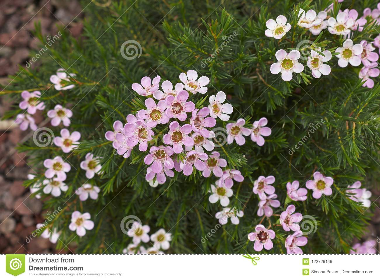 Pink And White Flowers Of Chamelaucium Uncinatum Plant Stock Image