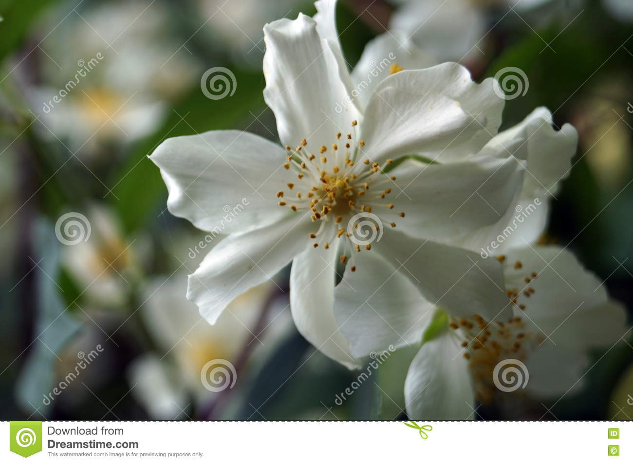 A Branch Of Jasmine On A Bush With White Flowers Stock Image Image