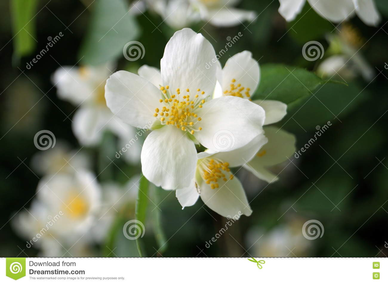 A Branch Of Jasmine On A Bush With White Flowers Stock Photo Image