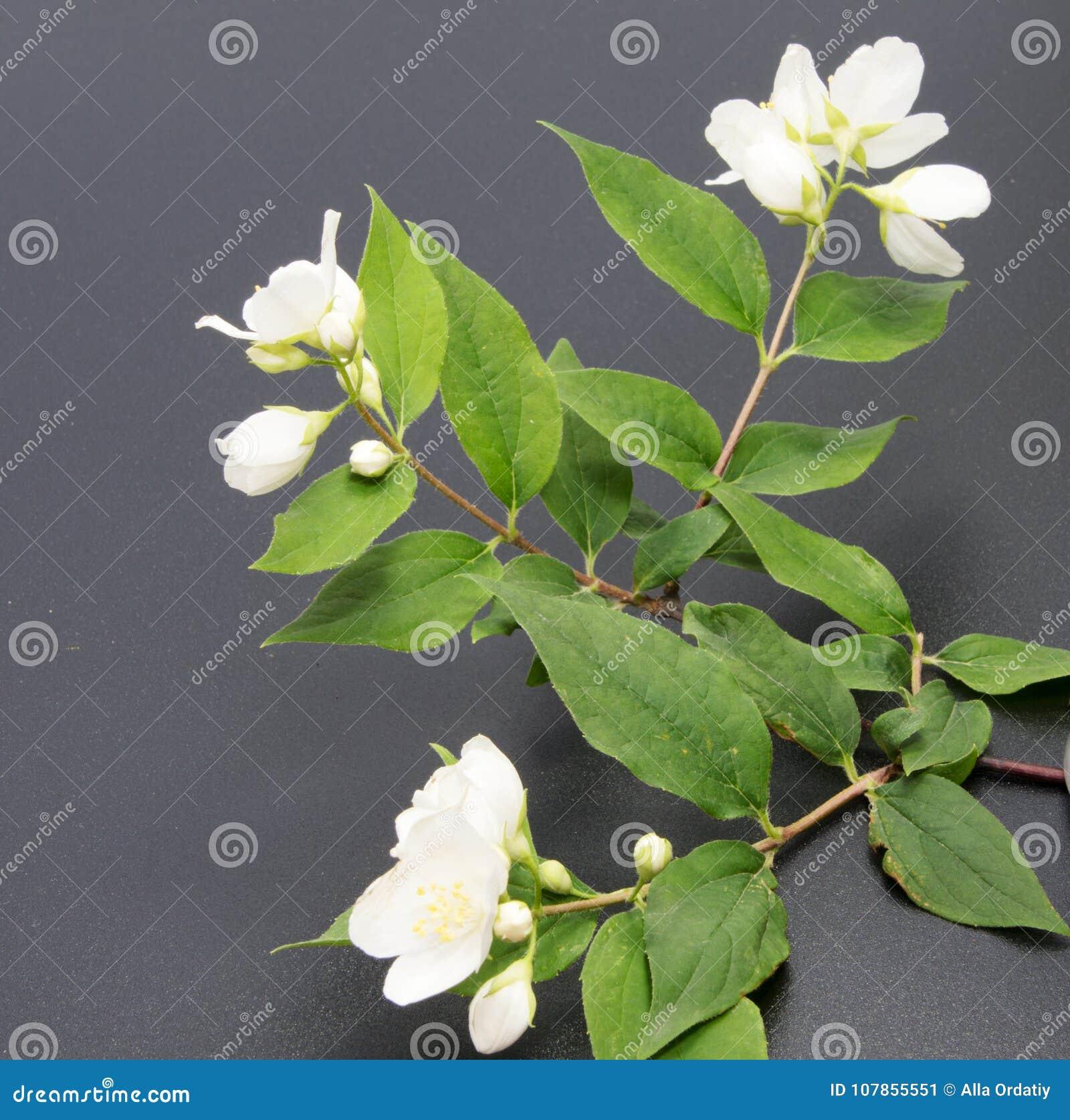 A Branch Of The Jasmine Flower Isolated White Jasmine Flower Stock