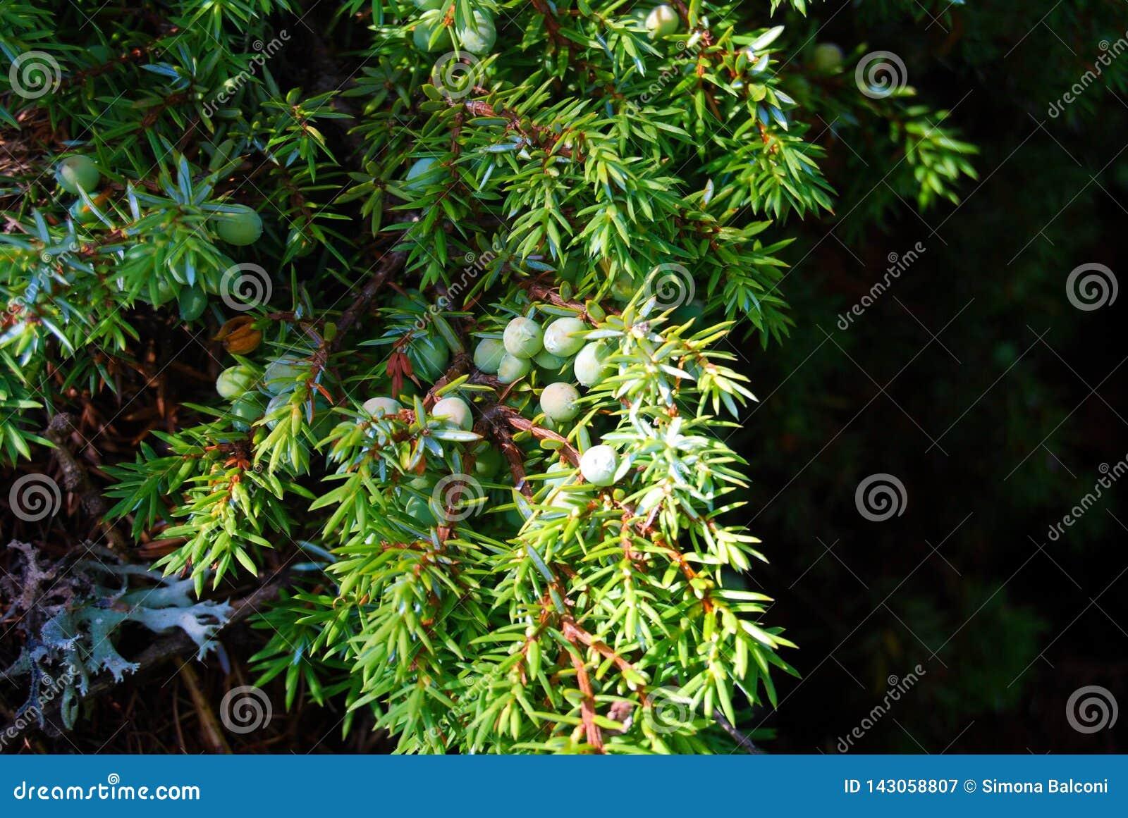 A branch of juniper tree