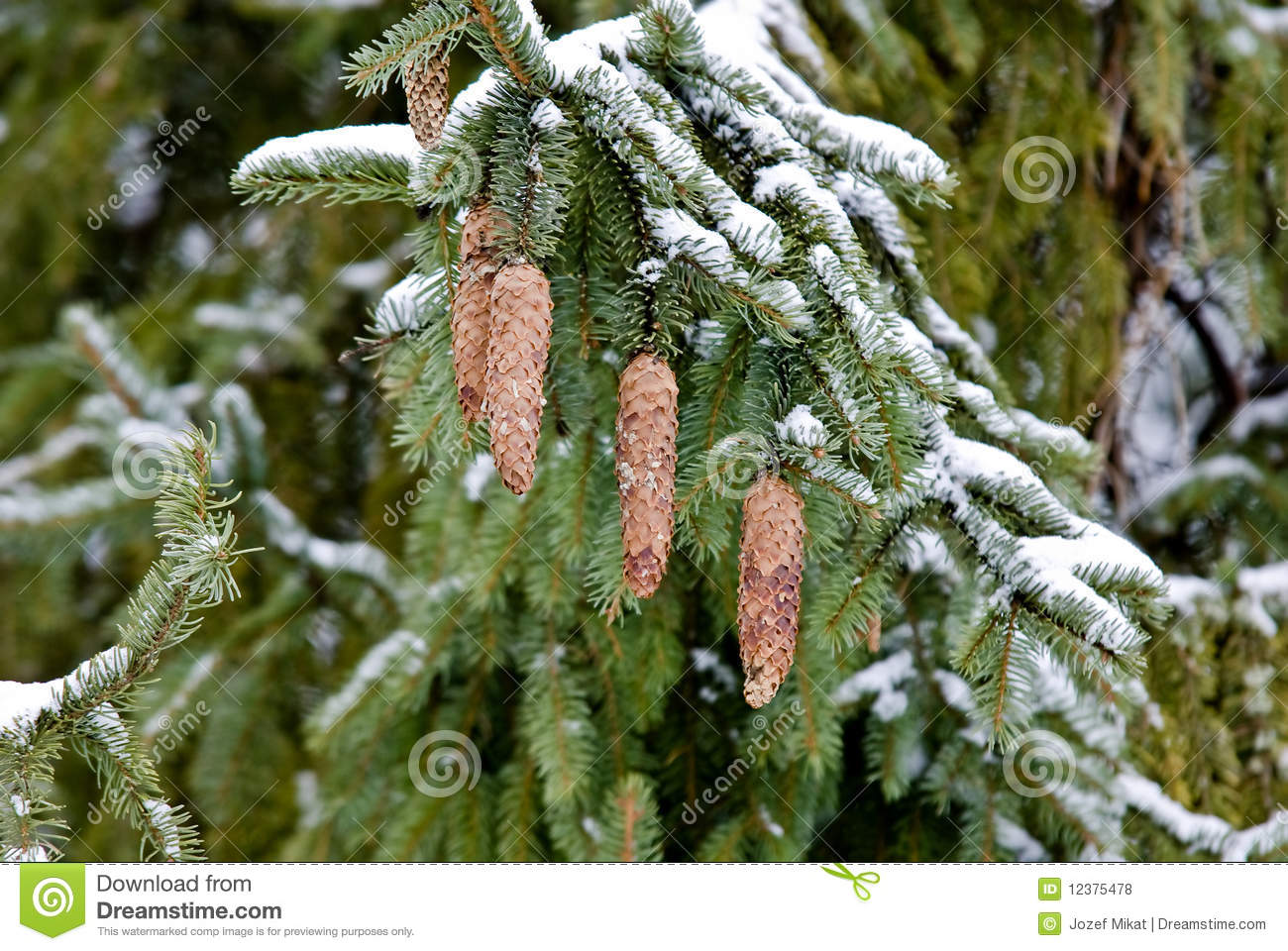 Branch Larch Tree Stock Photo. Image Of Space, Christmas