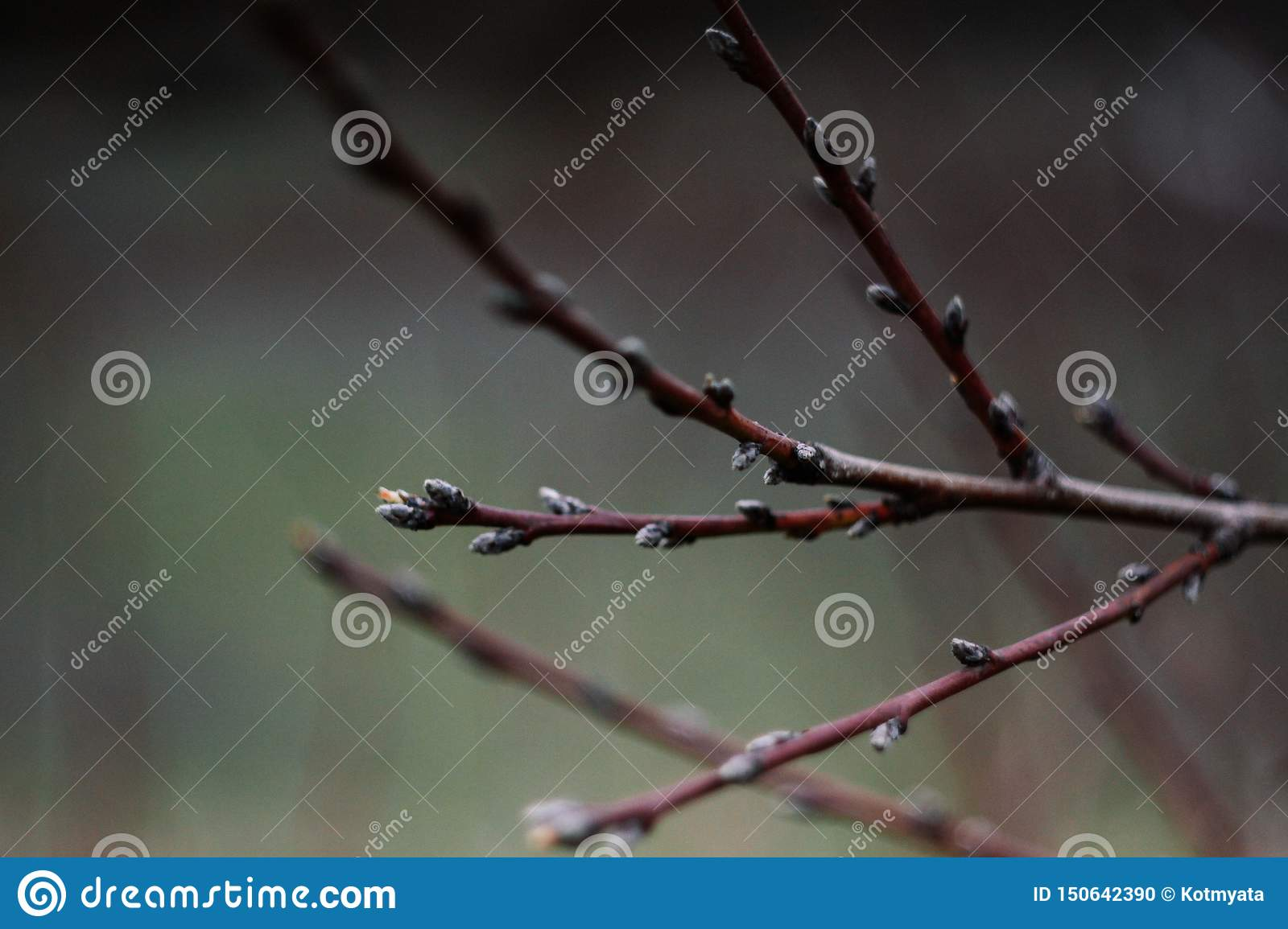 Branch with leaf buds. Spring color. The trees will bloom.