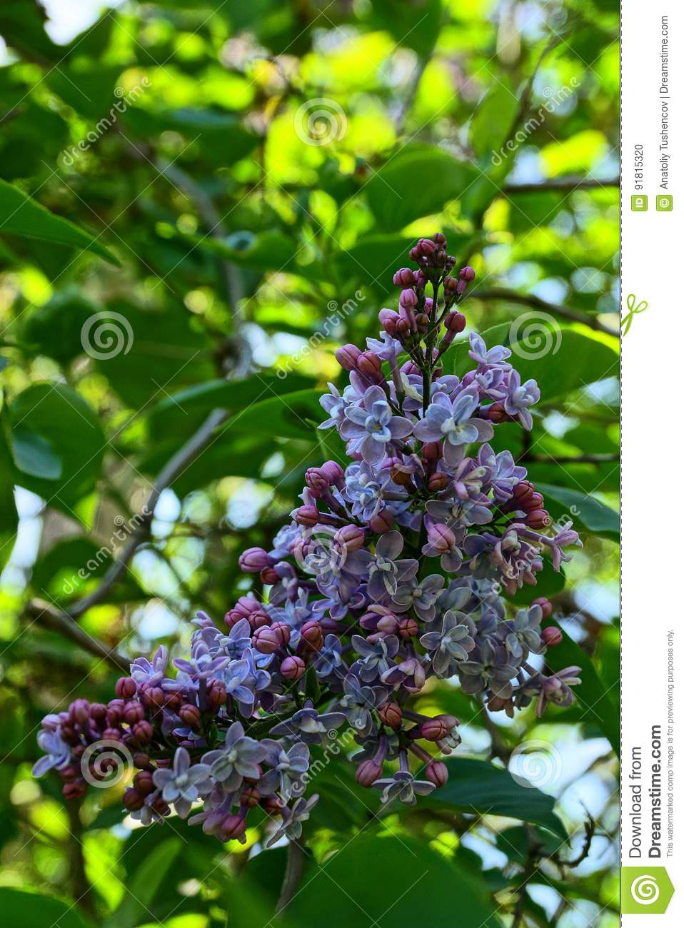 A Branch Of A Lilac Bush Blooming With Small Flowers Stock Photo