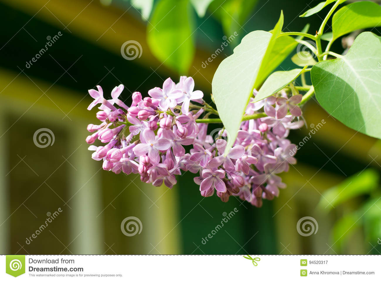 A branch of lilac eurasian shrub or small tree with fragrant download a branch of lilac eurasian shrub or small tree with fragrant violet mightylinksfo