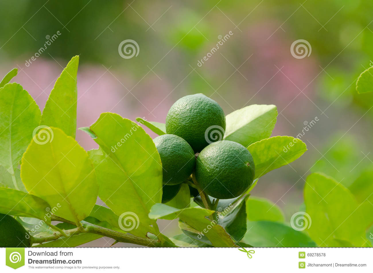 Branch of lime tree