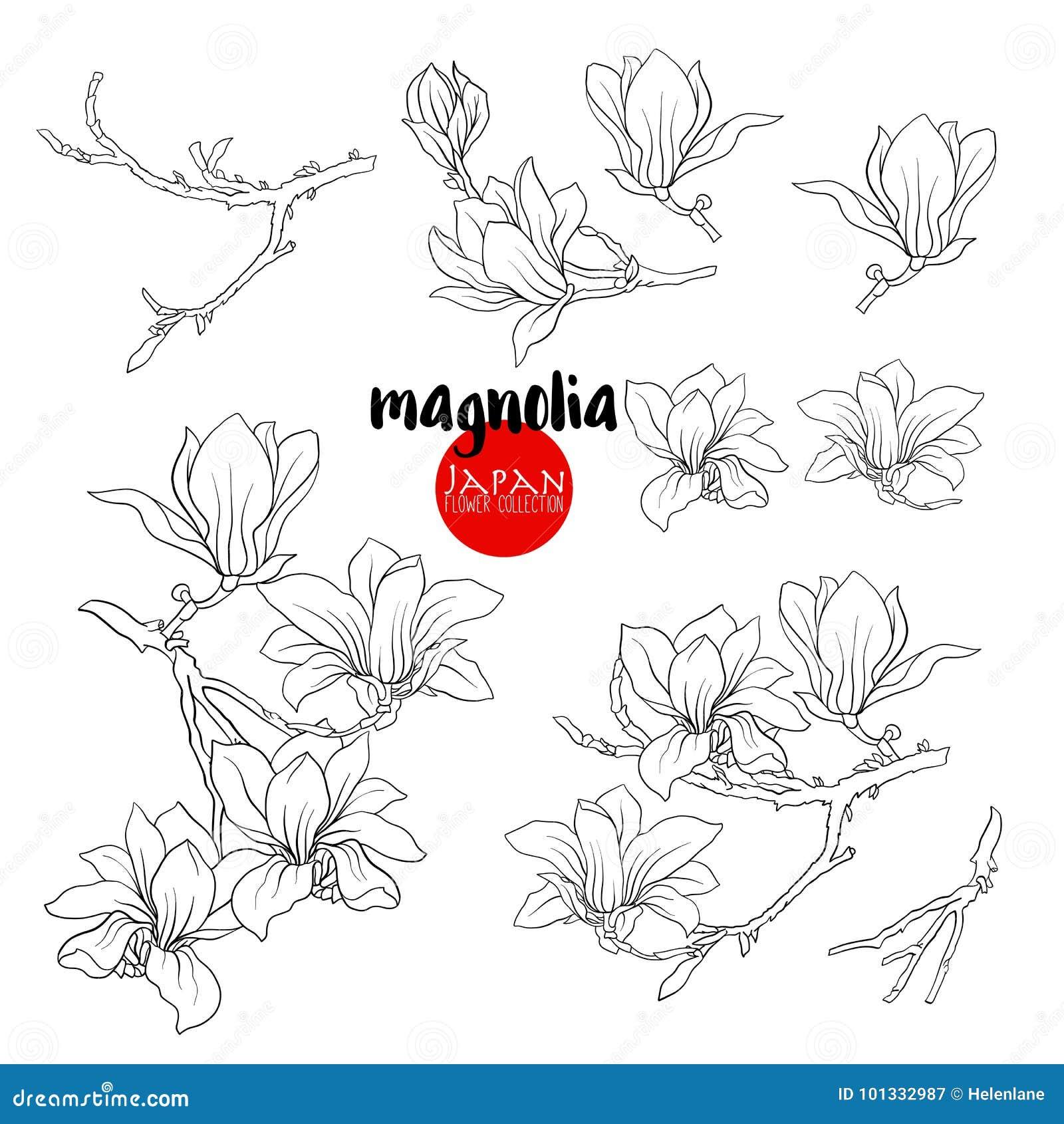 Branch Of Magnolia Blossoms Stock Line Vector Illustration Bota
